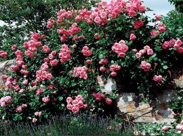 роза плетистая Лавиния
