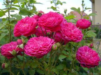роза плетистая Шекспир