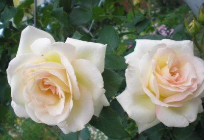 роза плетистая Шнеевальзер