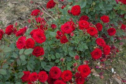 роза почвопокровная Ред Вельвет