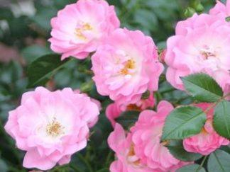 роза почвопокровная Сатина