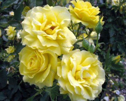 роза почвопокровная Зонненширм