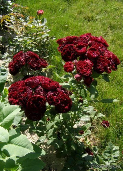 роза спрей Ред Сенсейшен