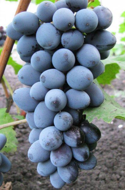 виноград Юпитер Сша