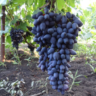 виноград кармен