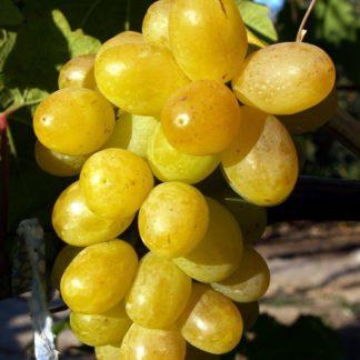 виноград пульсар