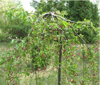 Плакучая яблоня сорт Китайка