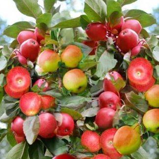 Яблоня Чудо-сад