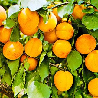 абрикос царский
