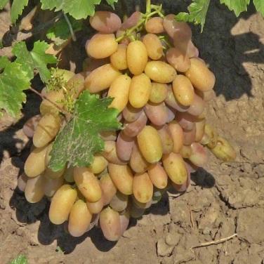 виноград легенда Аксая