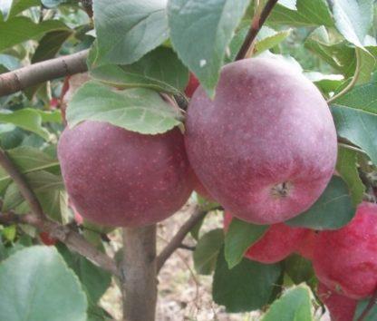 Яблоня Чадел