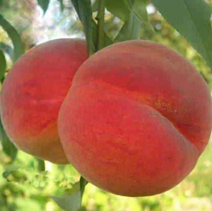 Персик «Майский Цветок»