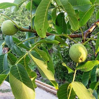 Грецкий орех «Изящный»