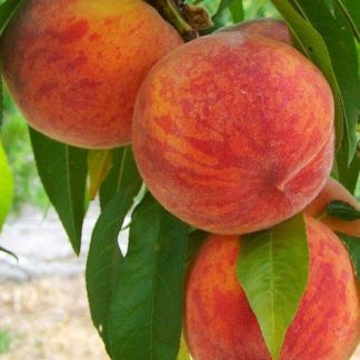 Персик «Инка»