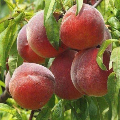 Персик «Роял Саммер»