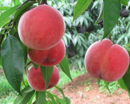 Персик «Ставропольский Розовый»