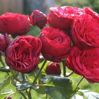 """Роза """"Ред Пиано"""""""