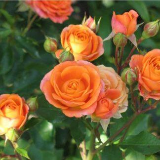 роза лайт оранж