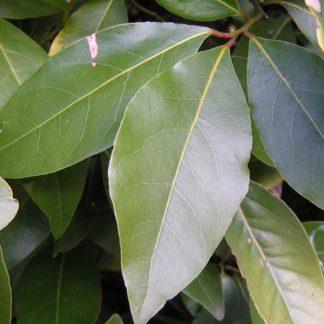 лавр благородный (лавровый лист)