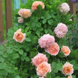 """Роза плетистая принцесса """"Алхимист"""""""