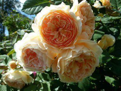 "Роза плетистая принцесса ""Маргарет"""