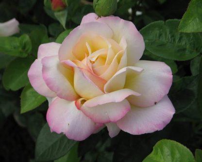 Роза плетистая Глория клайминг